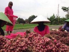 Ini Fakta Penggunaan Pestisida di Sentra Bawang Terluas di Asia Tenggara